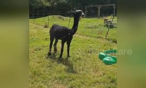 Hot alpaca hosed down to combat UK heatwave at farm in London