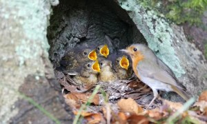 Mother Robin Cares for Chicks
