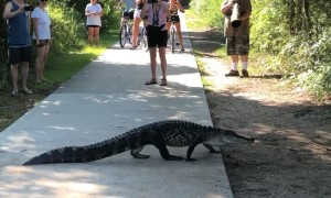 Alligators Calmly Cross Crowded Path