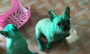 Naughty pugs paint themselves GREEN after raiding food colouring from kitchen