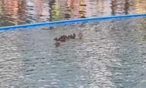 Family of ducks hold up annual race featuring their rubber counterparts in London