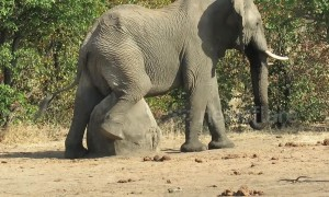 Huge African elephant has an itch he just can't scratch
