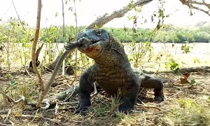 Komodo Dragon Munches on a  Monkey