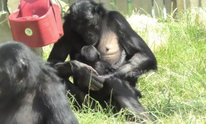 Protective bonobo mother takes care of newborn amid scorching heat at UK zoo