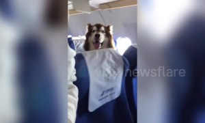 Giant Alaskan malamute spotted accompanying owner on plane in China