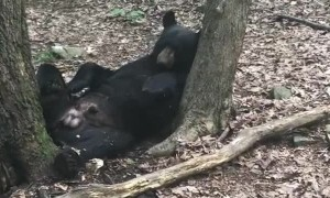 Black Bear Taking a Cat Nap