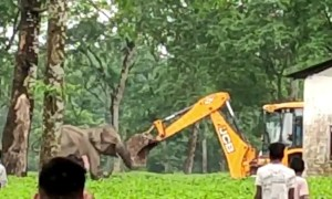 Raging mother elephant attacks excavator team rescuing her trapped baby