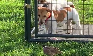 Brave Bird Taunts Caged Dogs