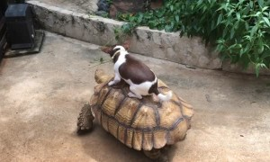 Doggo Takes Turtle for a Ride