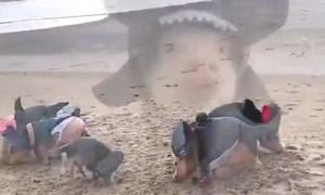 Shark Pigs On The Beach