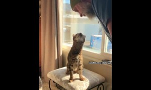 Bengal cat adorably sings along with owner