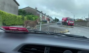 Get that ass out the way! Donkeys spend their morning roaming the streets of Cork