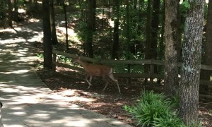 Deer Nurses Fawns Right by Driveway