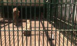 Lion Surprisingly Scared of Plastic Tube