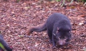 Tasmanian Devils Celebrate a Birthday