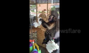 No monkeying around! Capuchin cleans windows in Houston