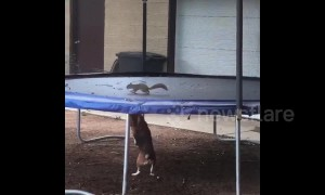 Beagle goes nuts after squirrel gets stuck on trampoline in Texas home