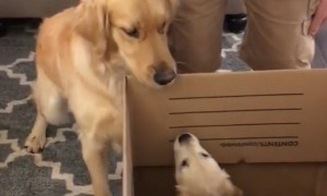 Big bro dog is super excited to meet his new puppy sister