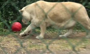 Lion-el Messi! Lioness dribbles ball like a pro at Belgium zoo