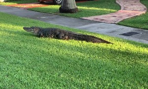Alligator Strolls Along Sidewalk