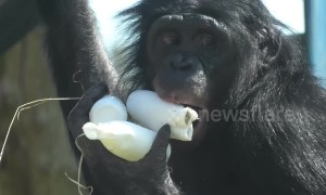 Bonobo apes at Twycross Zoo cool down with ice treats during UK heatwave