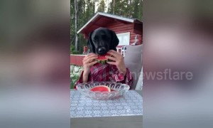 Man-dog can't wait to eat his juicy watermelon