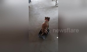Disabled dog uses makeshift wheelchair to run and greet owner in Thailand