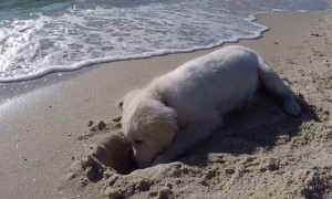 Puppy isn't happy after waves fill up newly dug hole