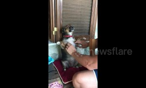 Dog enjoys belly scratch so much she's frozen in joy