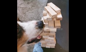 Genius dog is Jenga master