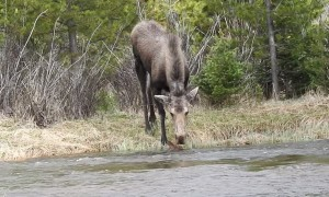 Moose Calf Struggles in Stream