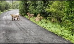 Indian farmer films pride of majestic lionesses crossing road