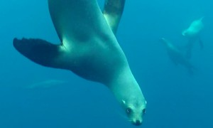 Sea lion attempts scary attack on California diver