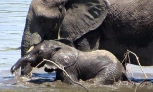 Baby elephant gets encouragement from mom during river cross