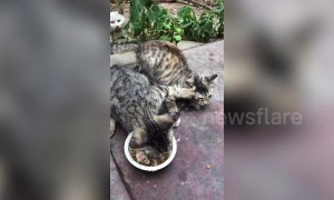 Greedy cat refuses to share food with feline friends in China