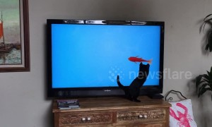 Confused kitten attacks TV fish so aggressively he falls off the stand