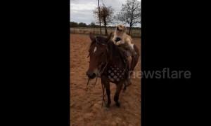 Dog rides horse