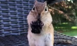 Chipmunk Devours Delightful Berry
