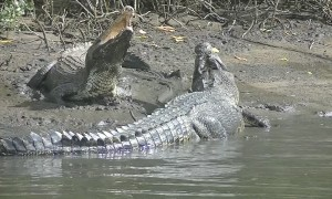 Incredible Crocodile Clash