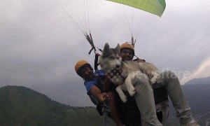 On top of the world: Siberian Husky enjoys paragliding 3,500 feet above ground in northern India