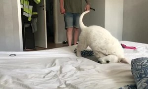Clumsy Golden Retriever Pup Hops Onto Bed