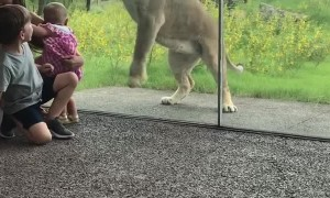 Lion Tries to Catch Some Kids