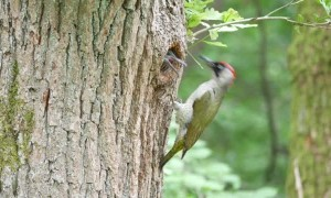 Green Woodpecker Feeding