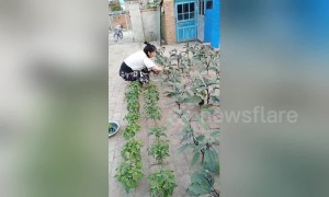 Creative Chinese woman plants vegetables in the gaps between bricks in her yard