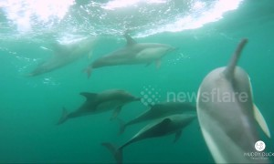 British cameraman has incredible encounter with pod of dolphins off Cornwall