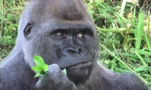 Silverback gorilla in UK zoo eats his greens to get summer body ready
