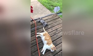 Adorable baby kitten has perfect new toy: older cat's tail