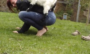 Photobombing Chicken Interrupts Goat Yoga