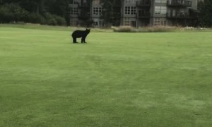 Golf Game Interrupted by Curious Bear