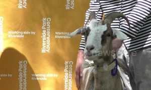No kidding: NYC goats being honored